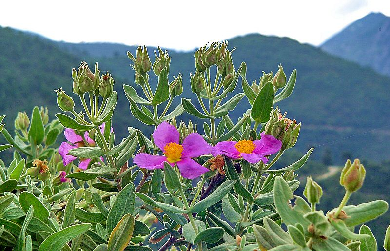 Alpen planten