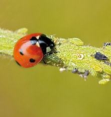 Coccinella septempunctata (Bescherming lage planten) 20 volwassen insecten-0