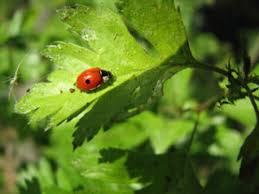 Adalia bipunctata ( Bescherming hoge planten) 100 Eitjes-0