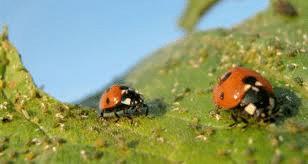 Coccinella septempunctata (Bescherming lage planten) 20 volwassen insecten-1329