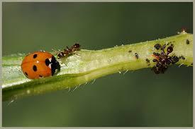 Coccinella septempunctata (Bescherming lage planten) 20 volwassen insecten-1330