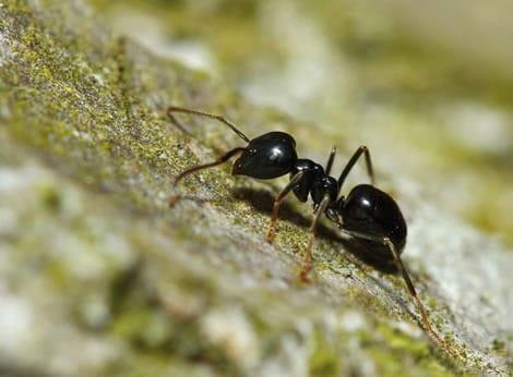 Nematoden ter bestrijding van mieren-0