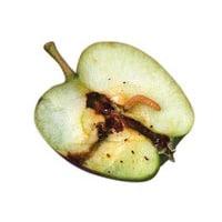Feromonen tegen de worm in appel, peren en noten-0