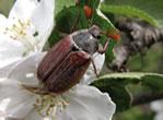 Aaltjes tegen engerlingen (meikever,junikever ,rozenkever)-1406